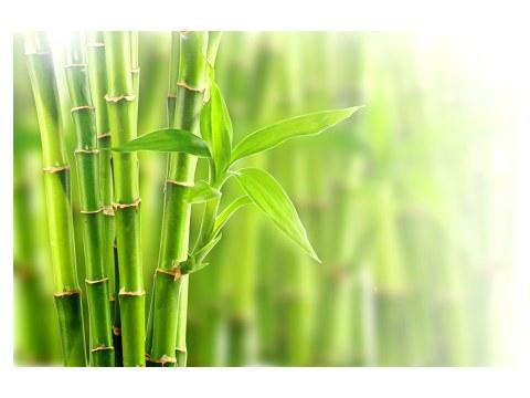 photos de bambous